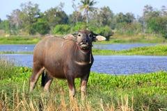 Buffalo. Asian water buffalo in the lake at Thailand Royalty Free Stock Image