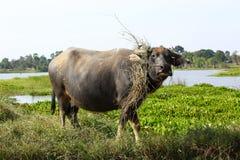 Buffalo. Asian water buffalo in the lake at Thailand Stock Photo