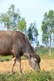 Buffalo. Asian water buffalo in the lake at Thailand Royalty Free Stock Photography