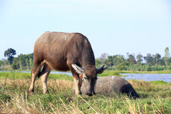 Buffalo. Asian water buffalo in the lake at Thailand Stock Images