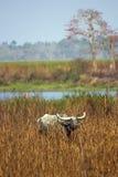 Buffalo asiatica selvaggia alla sosta nazionale di Kaziranga Immagine Stock Libera da Diritti