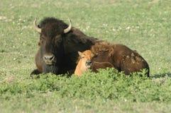 Buffalo At Rest Stock Photos