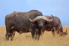 Buffalo au masai Mara photos libres de droits