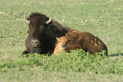 Buffalo au repos Photos stock