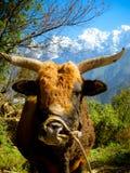 Buffalo avec des klaxons devant la neige a couvert des montagnes Photographie stock libre de droits