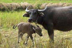 Buffalo avec le bébé sur l'herbe de champ en Thaïlande et en Asie Photos stock
