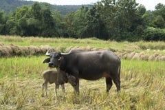 Buffalo avec le bébé sur l'herbe de champ en Thaïlande et en Asie Photos libres de droits