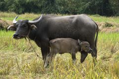 Buffalo avec le bébé sur l'herbe de champ en Thaïlande et en Asie Image stock