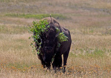 Buffalo avec une coiffe Photographie stock