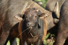 Buffalo baby Royalty Free Stock Image