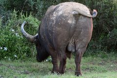 Buffalo Backside. The backside of an Afican Buffalo in the Addo Elephant National Park in Port Elizabeth, South Africa Stock Photos