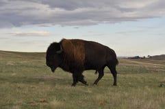 Buffalo in Badlands national park. Royalty Free Stock Photography