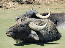 Buffalo bath. Eastern Bohemia . Czech Republic stock image