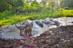 Buffalo bathed in mud puddles stock photography