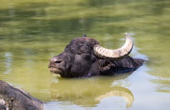 Buffalo bathing Royalty Free Stock Images
