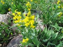 Buffalo Bean flowers 2. Wild Buffalo Bean or Golden Bean flowers Royalty Free Stock Images