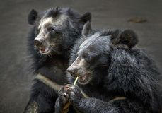 Buffalo bear or black bear in the zoo. Buffalo bear or black bear in the zoo natural atmosphere royalty free stock images