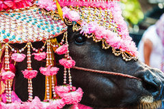 Buffalo beauty in thai beginning of Buddhist Lentl Stock Photography