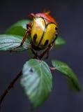 Buffalo beetle Royalty Free Stock Image