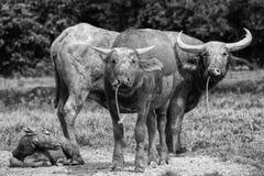 Buffalo in bianco e nero Fotografie Stock Libere da Diritti