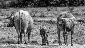Buffalo in bianco e nero Fotografia Stock Libera da Diritti