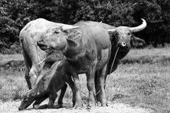 Buffalo in bianco e nero Immagini Stock Libere da Diritti