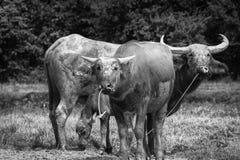 Buffalo in bianco e nero Immagine Stock Libera da Diritti
