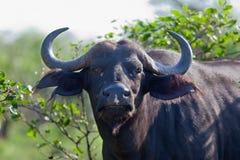 Buffalo Royalty Free Stock Image