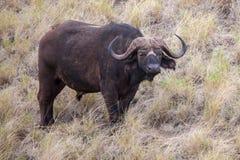 Buffalo is watching you, safari in Kenya. Buffalo with big horns is watching you, safari in Kenya royalty free stock photos