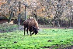Buffalo Royalty Free Stock Images