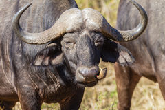 Free Buffalo Bird Detail Wildlife Stock Photos - 31623703