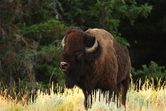 Buffalo/Bison Stock Photos