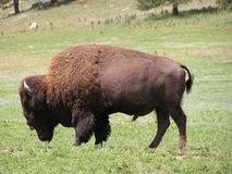 Buffalo or bison. In Black Hills - Custer State Park,South Dakota royalty free stock images