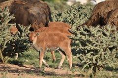 Buffalo Bison Baby Calf Royalty Free Stock Photo