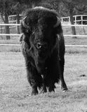 Buffalo. Bison black and white front nikon Stock Image