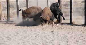 Buffalo Bison Bull Fight Royalty Free Stock Image