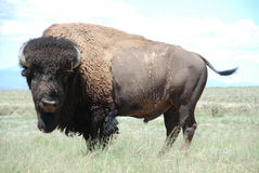 Buffalo Bison Bull Royalty Free Stock Photography