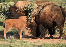 Buffalo Bison calf and mother sparring. Baby buffalo takes on its mother in a friendly spar - little horns big horns Royalty Free Stock Photos