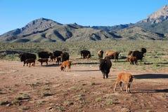 Buffalo Bison calves babies. Ten buffalo calves with their mothers Royalty Free Stock Photography