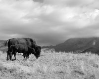 Buffalo Bison Cow with Calf Overlooking Mountain Range. A buffalo stands with her calf on a hillside in a mountain range Royalty Free Stock Images