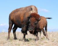 Buffalo Bison Cow Cuddles Her Calf fotografia stock libera da diritti