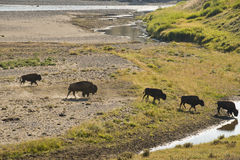 Buffalo Bison crossing a river in Lamar Valley Yellowstone Royalty Free Stock Photos