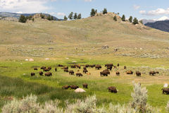 Buffalo Bison Herd Yellowstone National Park Wild Animal Royalty Free Stock Image