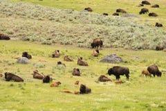 Buffalo Bison Herd Yellowstone National Park Wild Animal Stock Photo