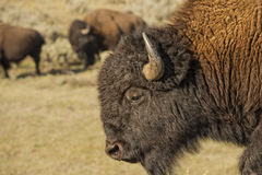 Buffalo Bison in Lamar Valley Yellowstone Stock Photos