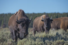 Buffalo Bison in Lamar Valley Yellowstone Stock Photography