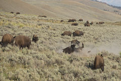 Buffalo Bison in Lamar Valley Yellowstone Royalty Free Stock Photography
