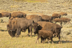 Buffalo Bison in Lamar Valley Yellowstone Royalty Free Stock Image