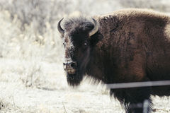 Buffalo (Bison) on the Plains of Colorado Stock Image