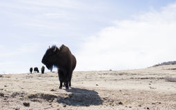 Buffalo (Bison) on the Plains of Colorado Stock Images